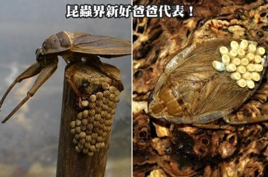 超噁心昆蟲田鱉,竟能讓人的肌肉溶化造成永久傷害