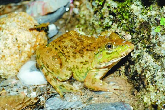 亞洲之蛙虎紋蛙兇猛獵食活物,因過度捕殺瀕臨滅絕