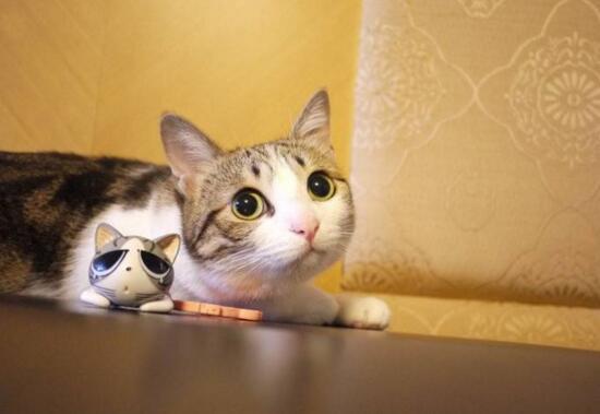 網紅萌寵瓜皮貓是什麼品種,其實是普通的中華田園貓