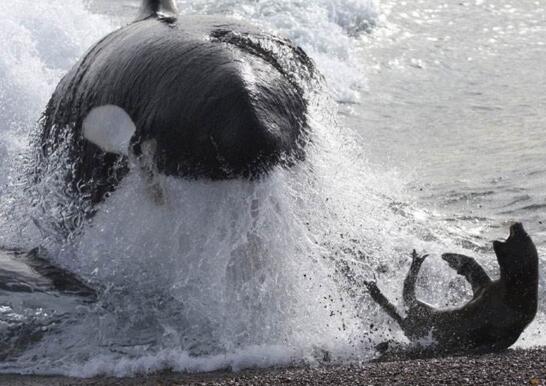 逆戟鯨以大白鯊為食,血盆大口可以吞下一整隻海獅