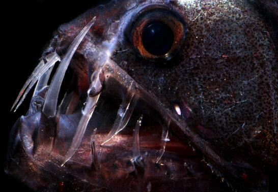 深海毒蛇魚,長著毒蛇一般的獠牙(嘴裡都放不下)
